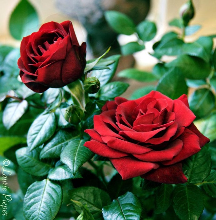RosesArtisticRed