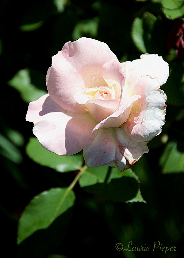 RoseSecretSunnyRainDrops